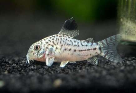 Pančevac krijumčario akvarijumske ribice