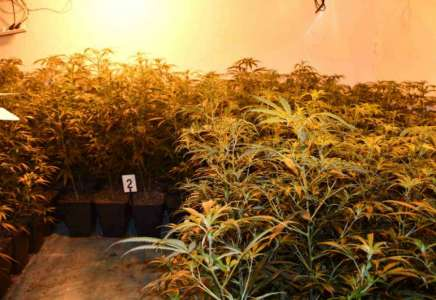Policija otkrila laboratoriju za uzgoj marihuane u veštačkim uslovima